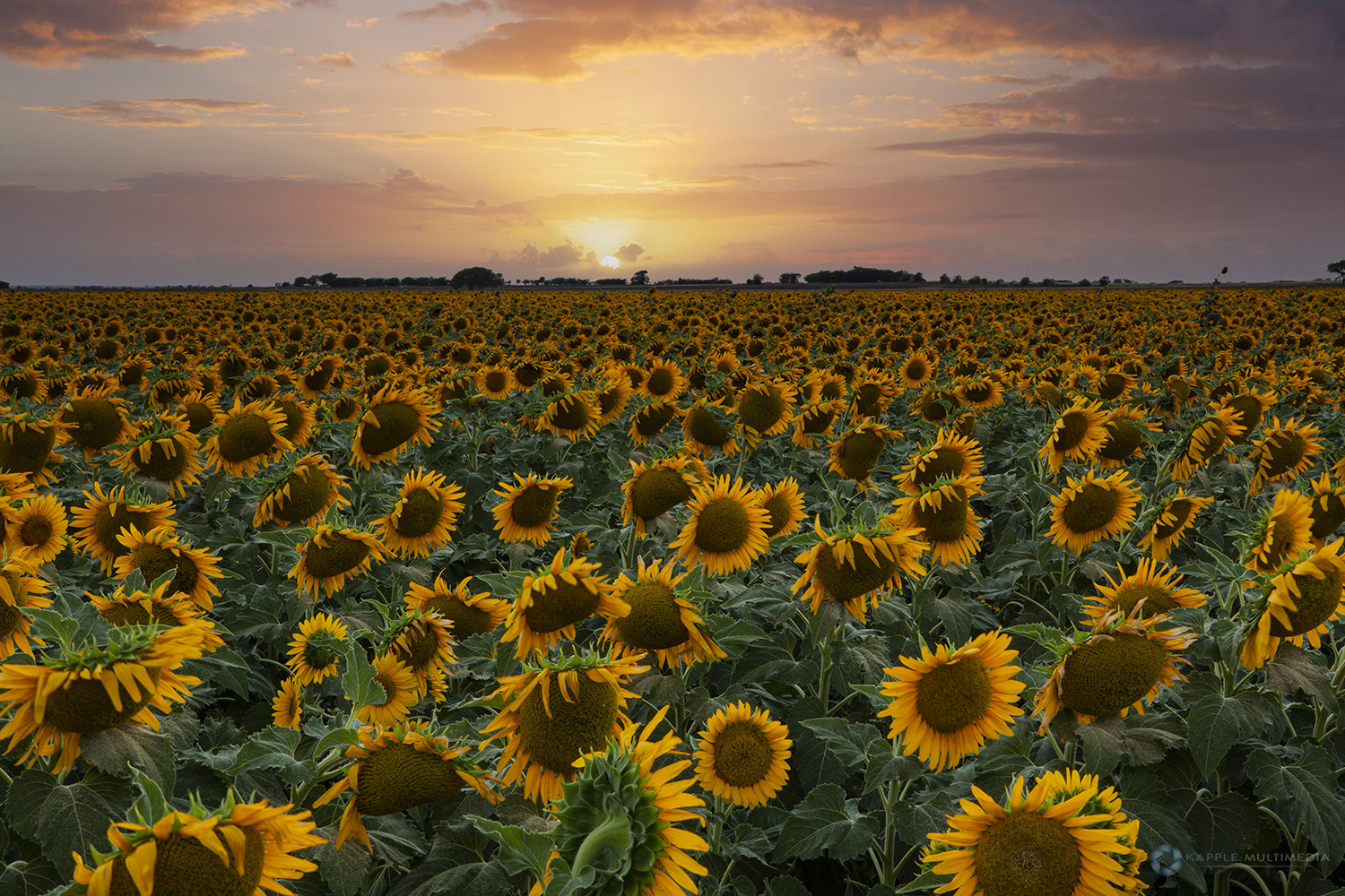 Sunflowers in Texas